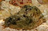 Заяц морской долабрифера