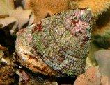 Улитка-водорослеед нилотикус M