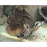 Стромбус канарский Гвидо