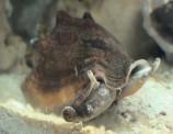 Стромбус черноротый