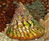 Улитка-водорослеед волчок полосатый