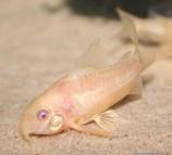 Коридорас крапчатый (альбинос)