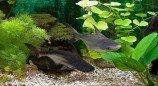 Пангасиус обыкновенный, Акулий сом