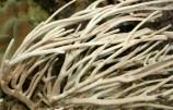 Горгонария эуплексаура