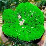 Актиния ковровая тапетум (Мини ковровая актиния)