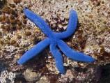 Звезда линкия голубая