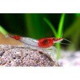 Креветка пресноводная красно-белая (Креветка Рили)