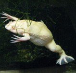Лягушка шпорцевая альбинос S