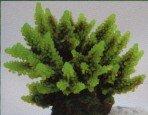 Коралл пластиковый зеленый 11,5x10x9см SH095G