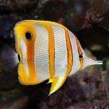 Щетинозубые (рыбы-Бабочки)