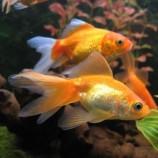 Золотые рыбки, Карпы, Гиринохейловые.