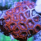 Морские кораллы жесткие (мадрепоровые)