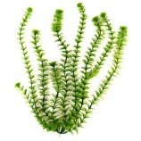 Растение пластиковое Амбулия (Ambulia) 23см