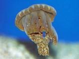 Медуза сидячая - кассиопея