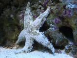 Звезда песчаная M